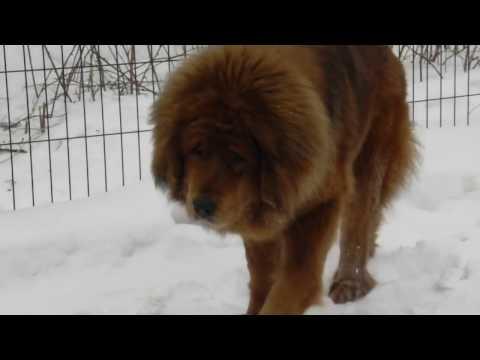 Tibetan Mastiffs MIROSLAVA end TSEZAR
