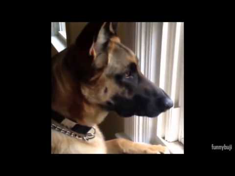 Funny German Shepherd Videos  Compilation  2005   2014  BEST EVER 18