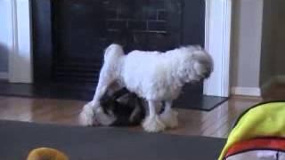 Lowchen puppies at play