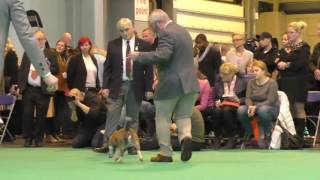 Crufts Dog show 2017 Miniature Bull Terrier Best of Breed