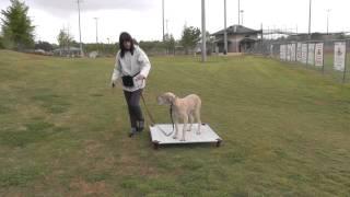 Dog Training: Loose-leash Walking Great Dane, Door Manners
