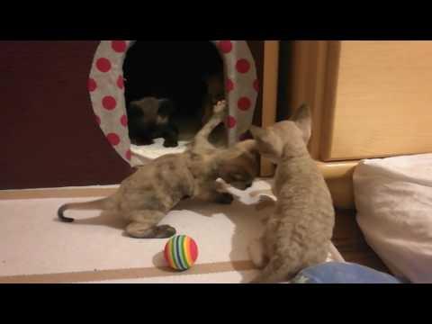 devon rex- kittens 10.04.2017