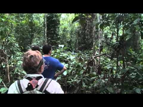 Mikongo Forest, gorilla trek, Lope National Park, Gabon