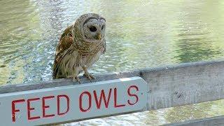 Owl Attacks! FYV