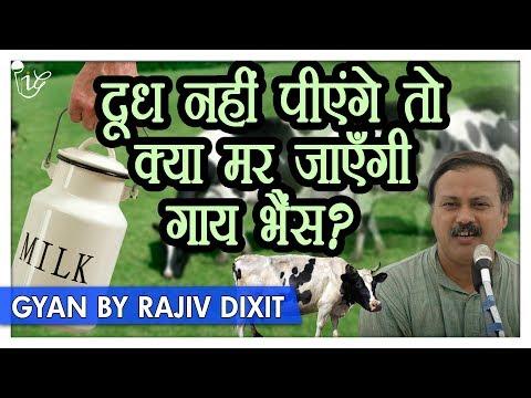 Rajiv Dixit - दूध पीना क्यों है ज़रूरी वर्ना मर जाएंगी गायें - भैंस ? | Rajiv Dixit on Cow & Milk