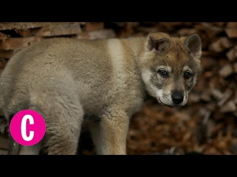 This Adopted Puppy Turned Out to Be a Wolf Dog | Cosmopolitan