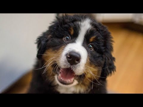 Funny Bernese Mountain Dog Puppy Compilation