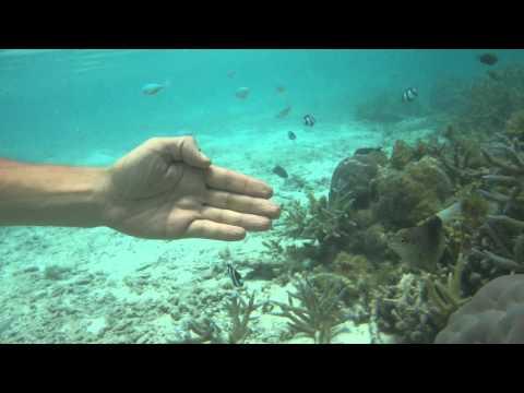 Damsel fish attacking