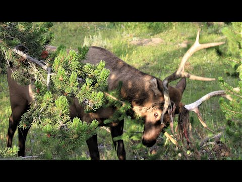 Two Bull Elk Bloodied Discarding Velvet in Yellowstone Aug. 15, 2019