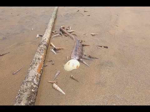 一大堆食肉海螺正分食一条大鱼,被赶海的阿阳撞见,直接全部带走