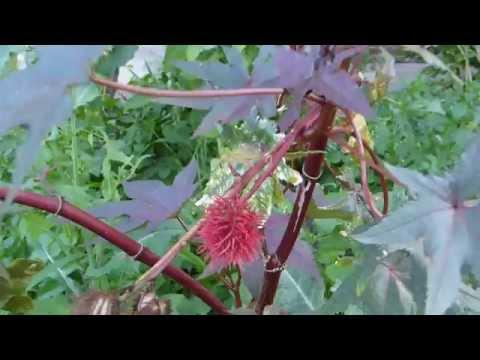 Castor oil plant - Ricinus communis