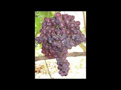 Виноград – полезные свойства и применение винограда