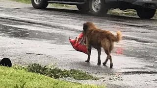 Dog Seen Carrying Its Own Food Seeking Shelter During Harvey