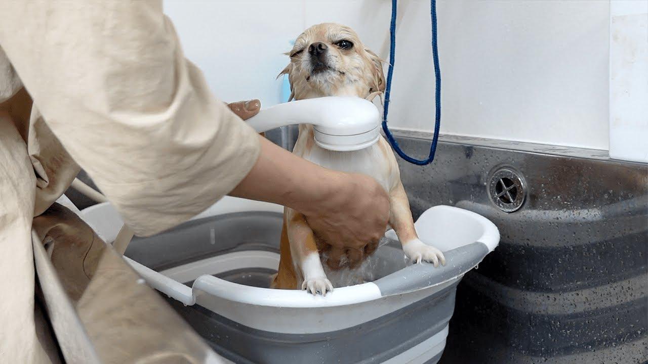 チワワ犬だって蒸し暑い時、冷たいシャワーが気持ちいいんです!隠しきれない表情が可愛すぎたwww