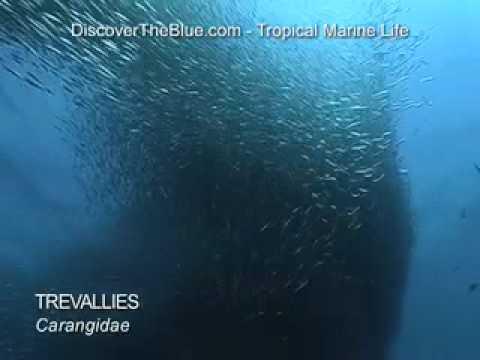 Trevallies, Trevally, Jacks, Mackrels I Huge School of Fish I Tropical Marine Life DVD