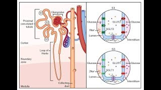 Electrolyte Homeostasis Part 1 Electrolyte Balance, Fluid Movement Water, Sodium, Potassium Ion Pump