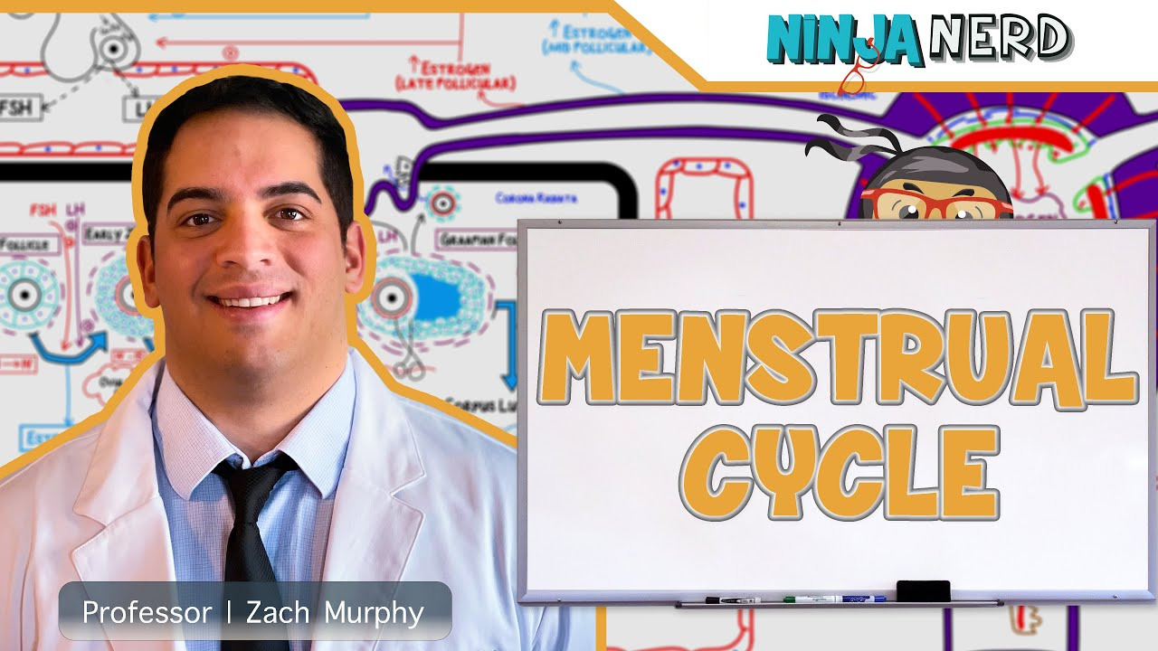 Female Reproductive Cycle Menstrual Cycle Youtube