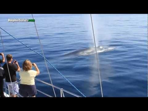 Curious Blue Whales Watch Whale Watching Passengers Off Dana Point