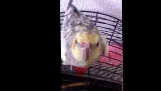 Bird sing - bird sing gangnam style