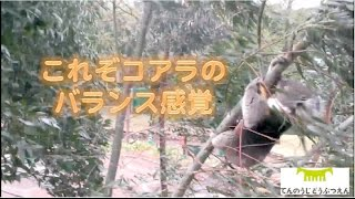 天王寺動物園で コアラはコアラらしくプロジェクト? 抜群のバランス感...