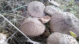 гриб зонтик