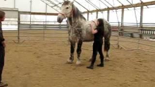Dapple Gray Percheron:  Oberon in Training III