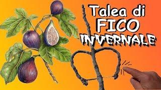 Download lagu TALEA DI FICO INVERNALE SEMPLICISSIMA ATTECCHIMENTO GARANTITO