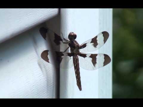 Common Whitetail Dragonfly (Plathemis lydia)