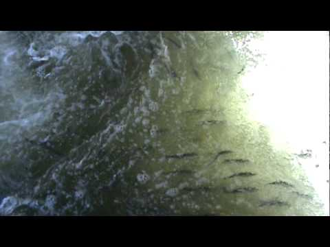 American Shad In The Fish Ladder At Lower Granite Dam, Eastern Washington State.mpg