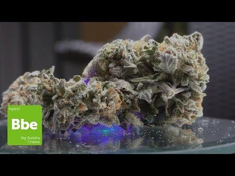 Marijuana Monday  BIG Buddha Cheese