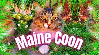 Main Coon Cat - Everything You Need To Know About Maine Coon - Large Cat Breeds As Pets!