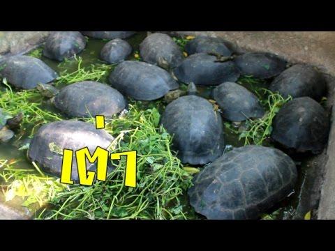 เต่า เยอะมากก Elongated tortoise วัดป่าเทวาพิทักษ์