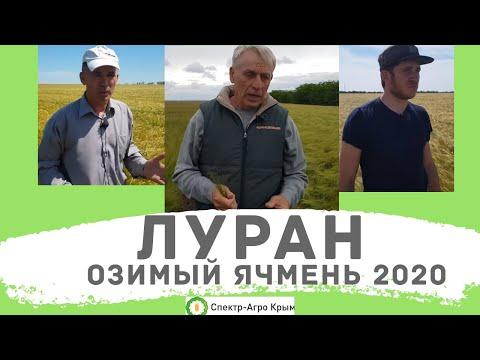 Озимый ячмень. Выявлен самый урожайный сорт! Стабильно высокий урожай. В условиях Крыма 2020   урожайность   озимого   ячменя   ячмень   уборка   отзывы   озимый   спект   сорта   луран