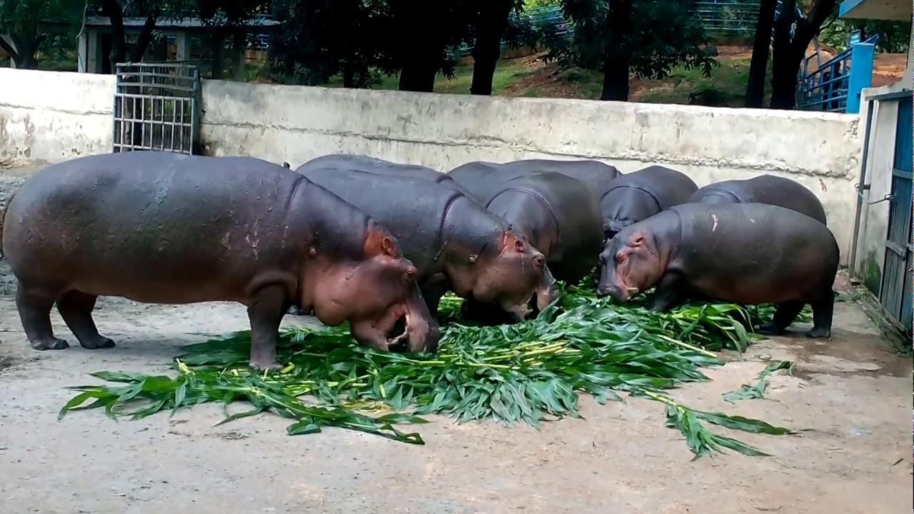hippopotamus food