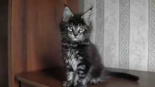 ЛИРИКУМ Понтий 7 недель , котенок мейн-кун  дикий окрас