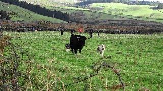 Há Dias Assim - Ganadaria Eliseu Gomes - Ilha Terceira - Açores