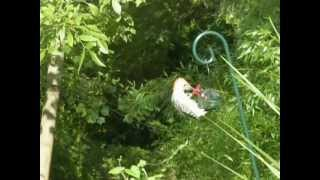 Red Bellied Woodpecker At Hummingbird Feeder