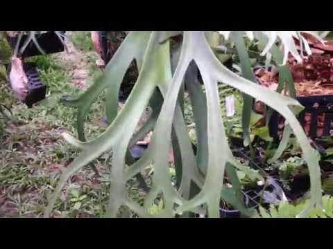 Platycerium willinckii silvery