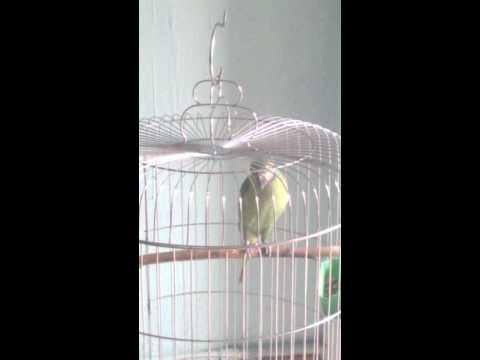 Vẹt ngực hồng nói hello, két chào khách, két cắn á ^^ ( 8 tháng tuổi) nuôi từ nhỏ