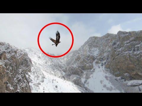 Stunning Juvenile Golden Eagle Flies Alongside Drone