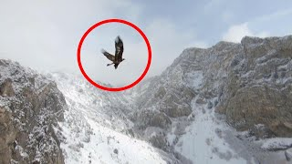 Stunning Juvenile Golden Eagle Flies Alongside Drone