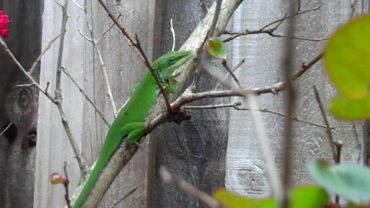 GA Backyard Lizards - YouTube