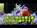 カクレクマノミ飼育と水替え の動画、YouTube動画。