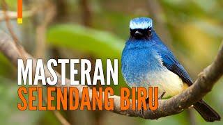 Suara Burung Selendang Biru Masteran \x5bSikatan Ninon\x5d   GACOR