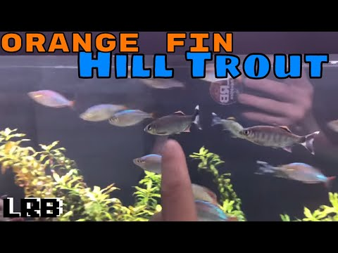Species Profile: Orange Fin Hill Trout aka Barilius Ardens