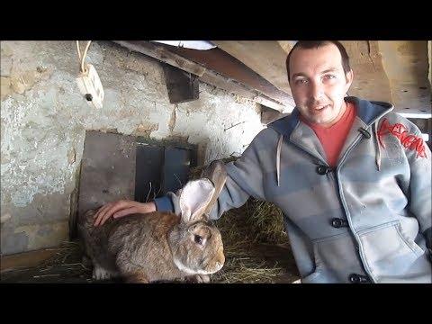 Зоркий Глаз отец семейства! Вес кролика породы Бельгийский великан/ Фландр/ в 1 год!