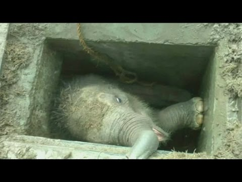 Baby elephant in Sri Lanka gets stuck in a drain