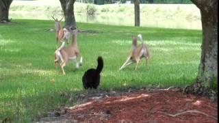 Black Cat Scares Off A Herd Of Deer