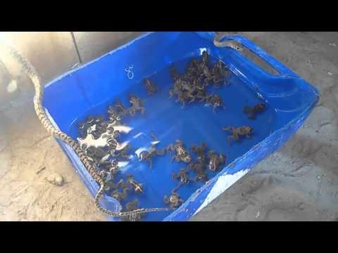 [Farmvina] Nuôi rắn ráo trâu: Cẩm nang cần biết