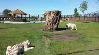 Karmienie tygrysów 4K 🍗🍖